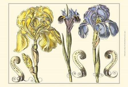 Small Iris in Bloom I (P) by Claude Langlois art print