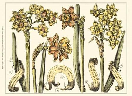 Custom Narcissus in Bloom II (U) by Claude Langlois art print