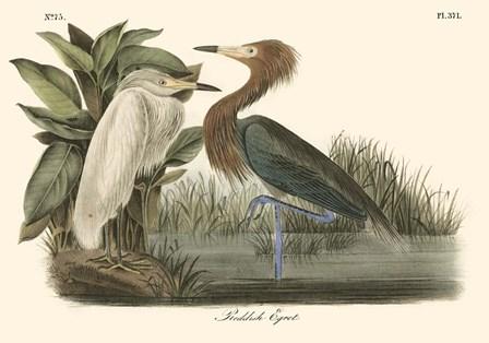 Reddish Egret by John James Audubon art print