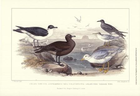 Gulls & Terns by J. Stewart art print