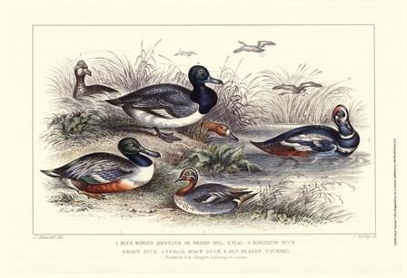 Duck Varieties by J. Stewart art print