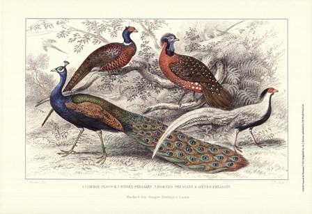 Peacock & Pheasants by J. Stewart art print