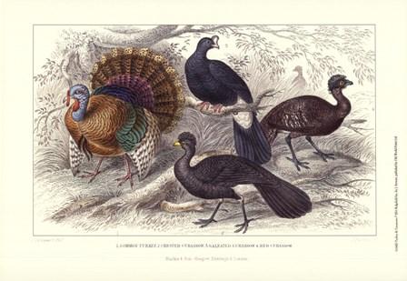 Turkey & Curassows by J. Stewart art print