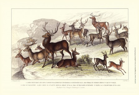 Deer Varieties by J. Stewart art print