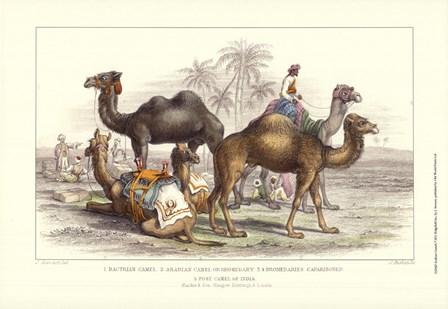 Arabian Camels by J. Stewart art print