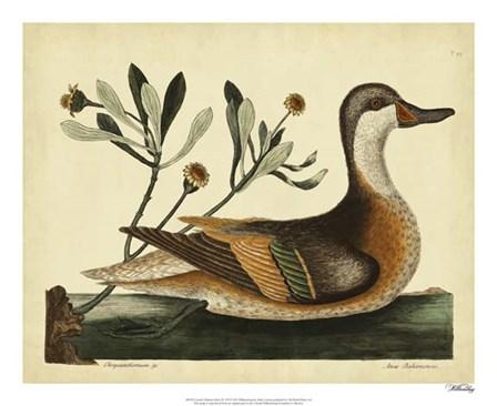 Ilatheria Duck, Pl. T93 by Marc Catesby art print