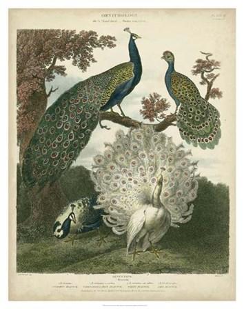 Peacock Gathering by Sydenham Edwards art print
