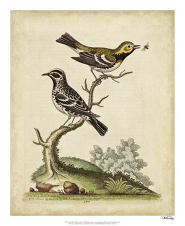 Edwards Bird Pairs VIII by George Edwards art print