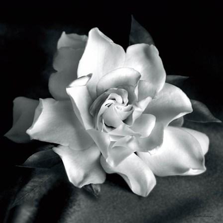 Gardenia by Debra Van Swearingen art print