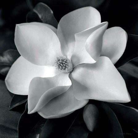 Magnolia by Debra Van Swearingen art print