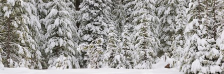 Snow covered pine trees, Deschutes National Forest, Oregon, USA by Panoramic Images art print