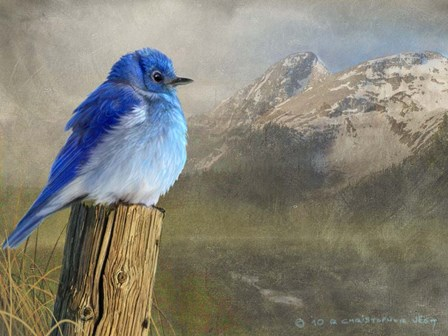 Mountain Blue Bird by Chris Vest art print