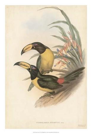 Tropical Toucans IV by John Gould art print