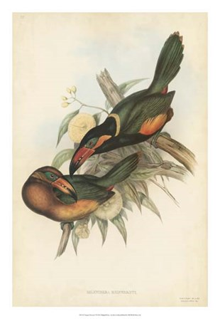 Tropical Toucans V by John Gould art print