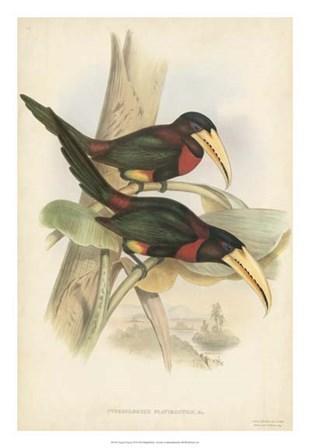 Tropical Toucans VII by John Gould art print