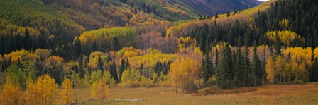 Aspen trees in a field, Maroon Bells, Pitkin County, Gunnison County, Colorado, USA by Panoramic Images art print