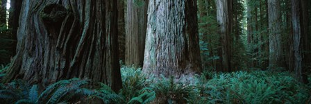 Redwood Trees and Ferns, California by Panoramic Images art print