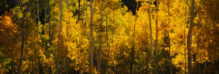Aspen trees in a forest, Telluride, Colorado by Panoramic Images art print