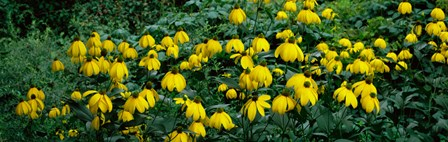 Autumn Sun Coneflower (Rudbeckia nitida) growing in a field by Panoramic Images art print