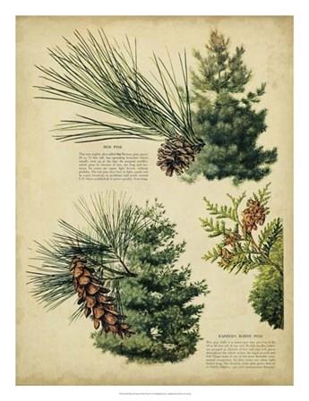 Red Pine & Eastern White Pine art print