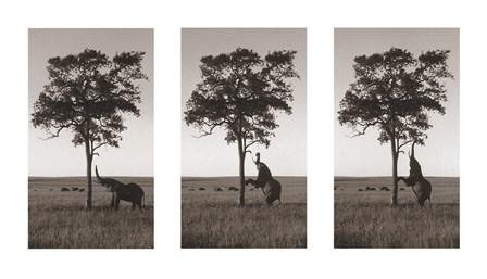 Kichwa Tembo, Masai Mara by Erin Clark art print