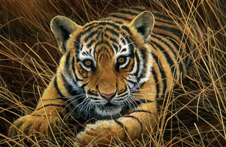 Tiger Cub by Dr. Jeremy Paul art print