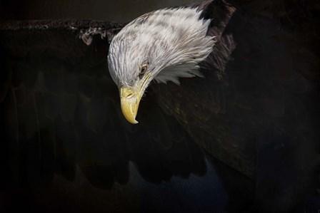 Shadow Hunter Bald Eagle by Jai Johnson art print