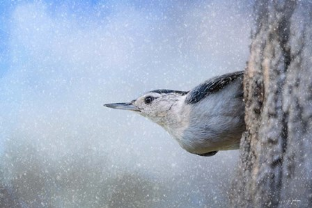Nuthatch In The Snow by Jai Johnson art print
