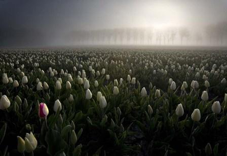 Tulip field by Maciej Duczynski art print