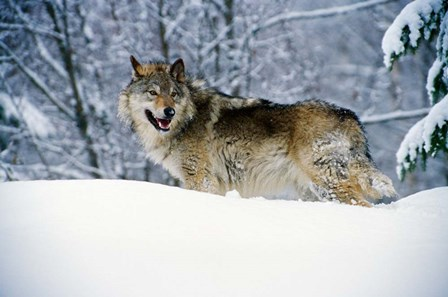 Gray Wolf in Snow by Panoramic Images art print