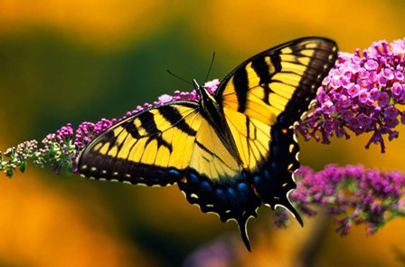Male Tiger Swallowtail Butterfly by Panoramic Images art print