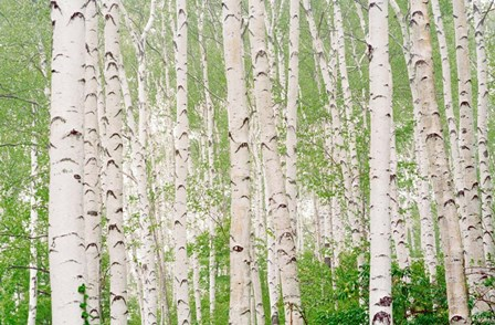 Aspen Trees by Panoramic Images art print