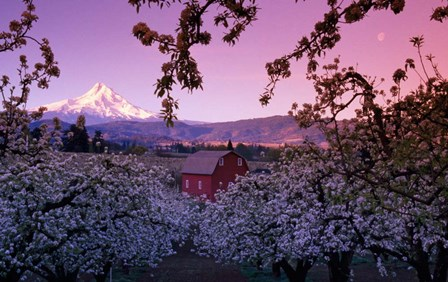 Apple Trees in Oregon by Panoramic Images art print
