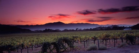 Vineyard At Sunset, Napa Valley, California by Panoramic Images art print
