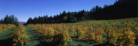 Vineyard in Fall, Sonoma County, California by Panoramic Images art print