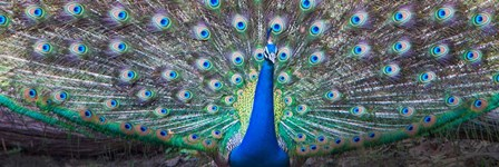 Dancing Peacock, India by Panoramic Images art print