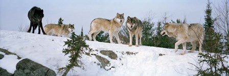 Gray wolves, Massey, Ontario, Canada by Panoramic Images art print