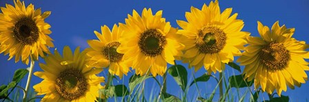Sunflowers in a Row by Panoramic Images art print