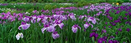 Iris Garden, Nara, Japan by Panoramic Images art print