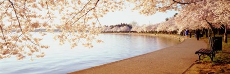 Cherry Blossoms by Panoramic Images art print
