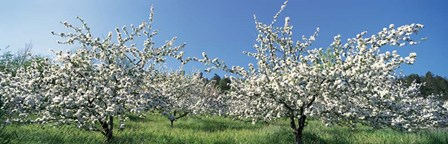 Apple Blossom Trees, Norway by Panoramic Images art print