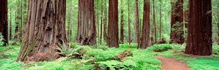 Avenue Of The Giants, Founders Grove, California by Panoramic Images art print