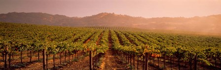 Vineyard in Geyserville, CA by Panoramic Images art print