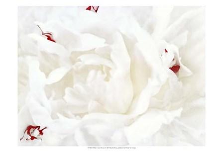 White Linen Peony I by Rachel Perry art print