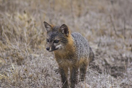 Island Fox by Chris Moyer art print