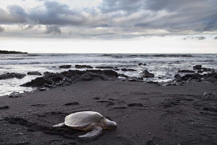 Black Sand Honu by Chris Moyer art print