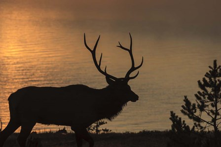 Bull Elk at Sunrise by Galloimages Online art print