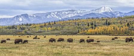 Grand Teton Bison Grazing by Galloimages Online art print