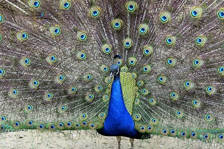 Peacock 1 by Galloimages Online art print