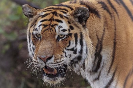 Tiger by Galloimages Online art print
